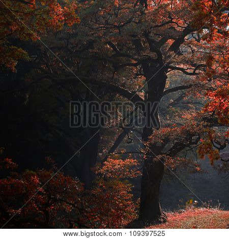 Picturesque Autumn Oak Grove Shade