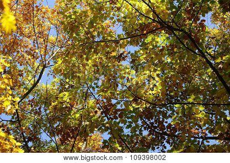 Golden-leaved Oak Tree