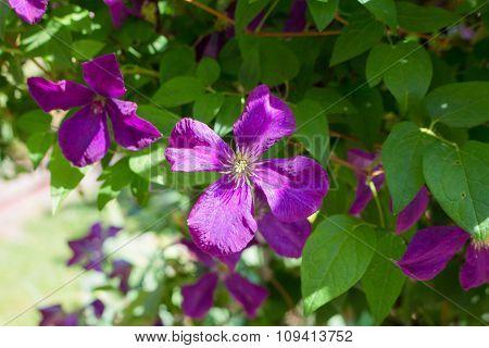 Dark purple clematis flowers