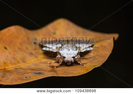 Syntypistis Comatus Moth On Dried Leaf