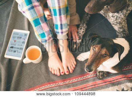 Woman legs and two dogs lying on bed, tea and tablet on her side. Cute terrier and German pointer looking at camera.