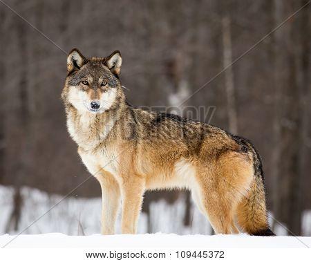 wolf standing ground