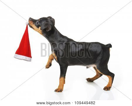 Dog with Santa hat isolated