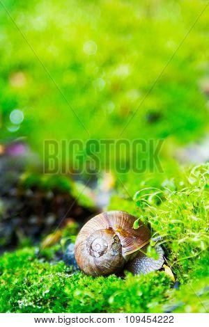 Crawler snail in spring green grass.Helix pomatia. poster