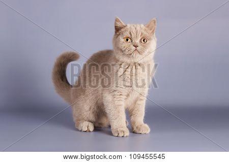 British lilac kitten, Scottish straight.