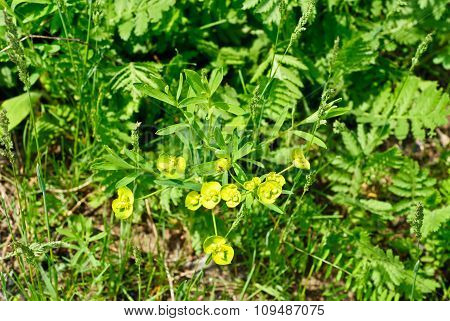 Euphorbia (.euphorbia Helioscopia L.) In A Meadow