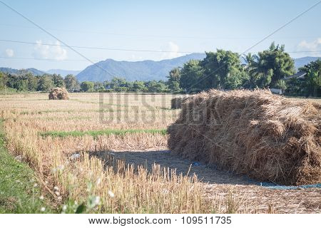 Harvested Rice In Rice Field In Thailand