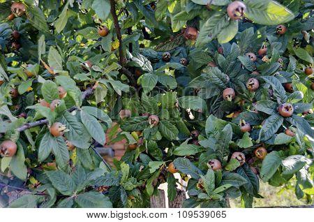 Several fresh medlar fruit in the twig