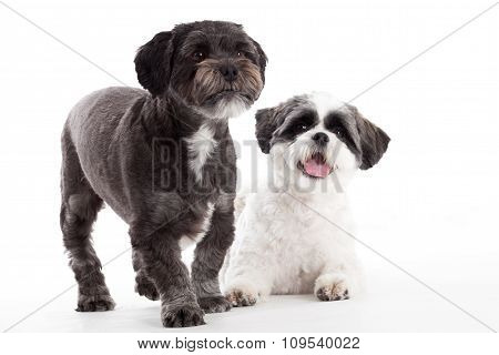 2 Shi Tzu Dogs In The Studio