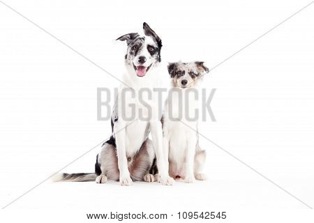 2  Blue Merle Dogs Looking
