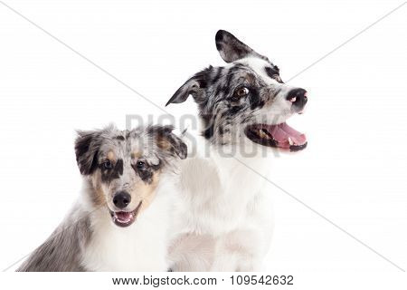 Portrait Of 2  Blue Merle Dogs