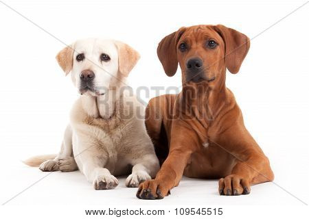 Rhodesian Ridgeback  And Golden Retriever On White