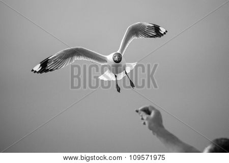 B&w Gulls Swooping Food From Human Hands