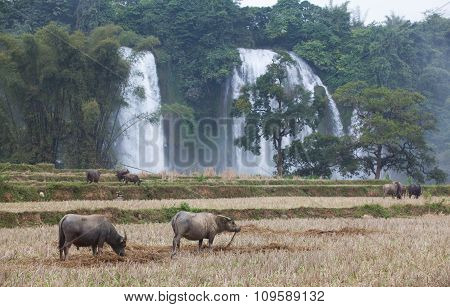 Water buffalo eating grass on the field near Ban Gioc waterfall in north of Vietnam