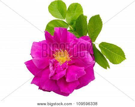 Wild Rose Isolated On White
