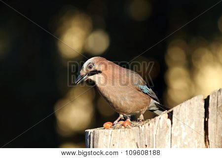 European Jay On A Stump
