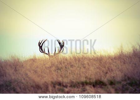 Red Deer Buck Hiding