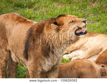 Roaring Lion, Cabarceno, Spain