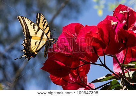 Butterfly on Bouganvillea