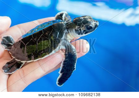 Hand Holding Newly Hatched Baby Turtle