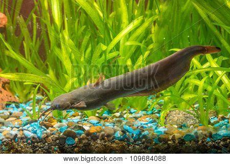 Adult Stinging Catfish