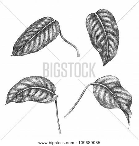Leaves Of Tropical Plant.
