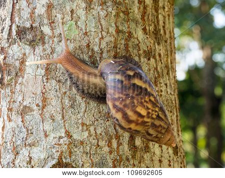 One of Brown Snail is climbing up the tree.