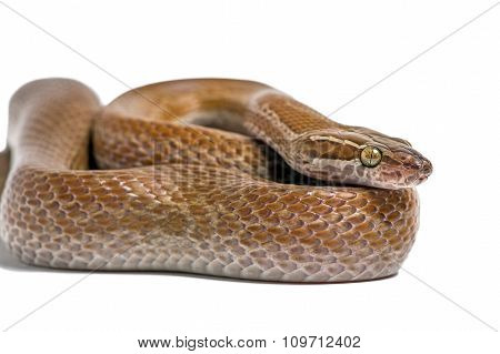 Cape House Snake (Boaedon Capensis)