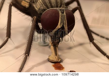 Macro Portrait Of Fly