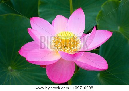 Eastern Lotus, rare and beautiful.
