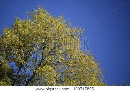 Tops Of Golden-leaved Trees