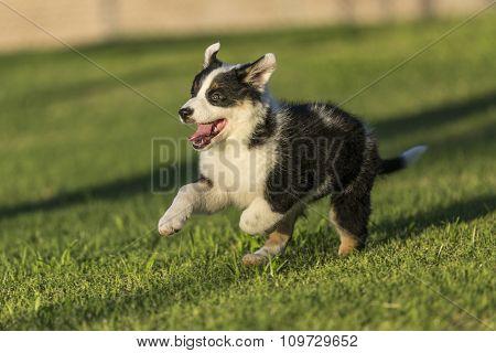 Cute Texas Heeler Puppy Running In The Park