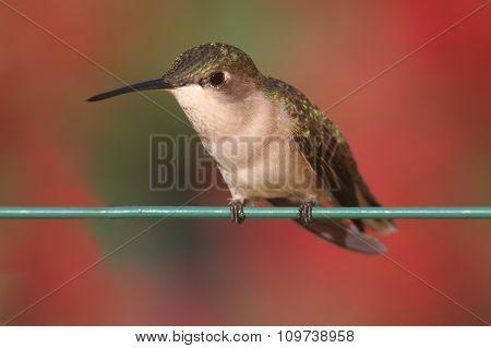 Ruby-throated Hummingbird (archilochus Colubris)