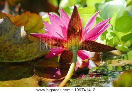 Pink waterlily in a garden pond