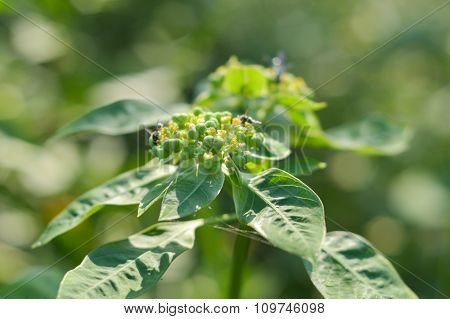 green painted spurge grass