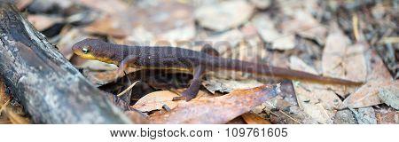 Rough-skinned Newt (Taricha granulosa)
