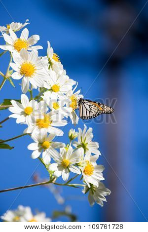Monarch butterfly drinks daisy flower nectar