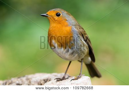 Robin (Erithacus rubecula) filling the frame in profile