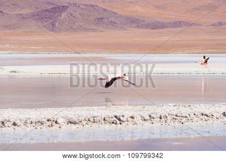 Pink Flamingo Flying Over Salt Lake On The Bolivian Andes