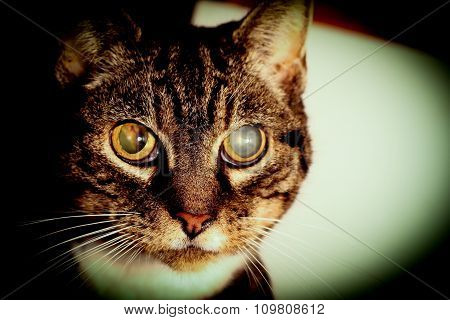 Cat Going Blind With Cataracts