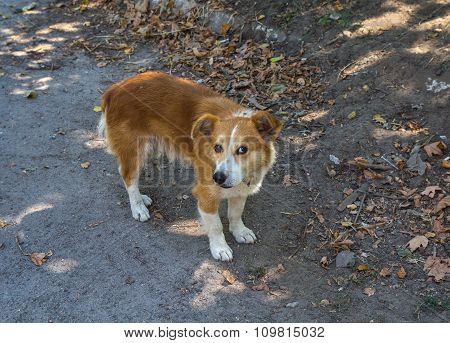 Incredulous look red homeless hungry dog. Pets poster
