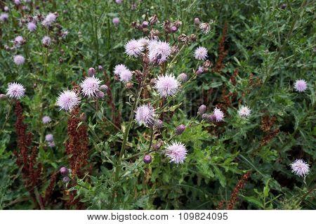 Creeping Thistle Flowers