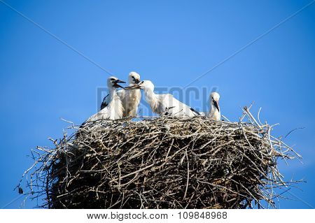 Storks in the nest.