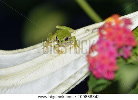 Savigny's Tree Frog