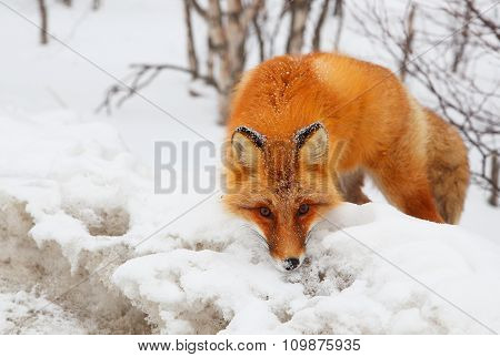 Closeup of red fox en face in snowy wood