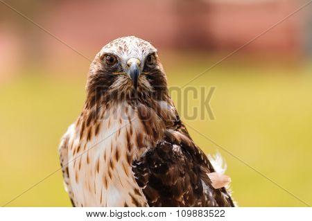 Ferruginous Hawk Closeup