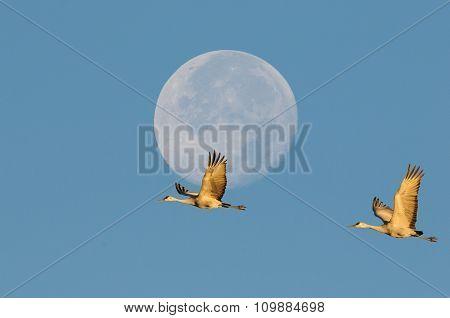 Sandhill Cranes And Moon