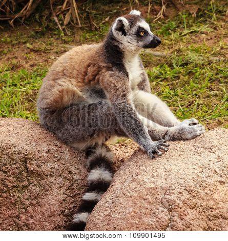 Profile Of A Lemur Of A Madagascar