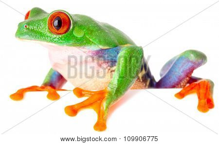 red eyed tree frog isolated on white, a tropical treefrog from the exotic rain forest of Costa Rica Panama and Nicaragua