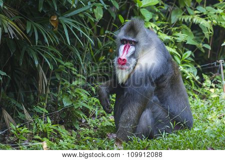 Portrait Of The Adult Male Mandrill